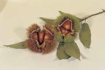 Chestnut burrs each contain two or three nuts.