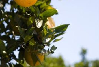 Cuttings from established navel orange trees can be grown into new trees.