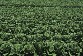 Romaine lettuce stands up to hot temperatures moderately well.