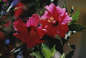 The althea shrub is a favorite of hummingbirds.