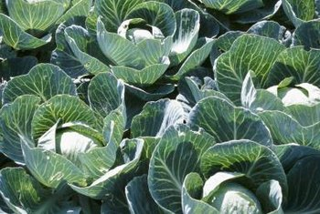 Cabbage pests are most often on the outer bottom leaves.