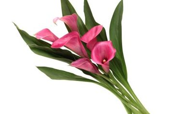 Mini calla lilies make colorful, long-lasting cut flowers.
