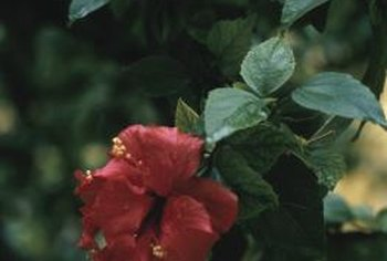Most hibiscus trees grow in subtropical or tropical climates.
