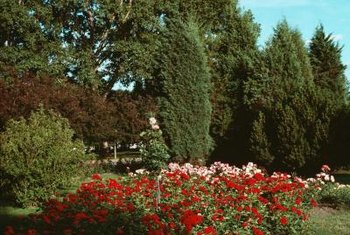 Background shrubs add depth to landscape borders and beds.