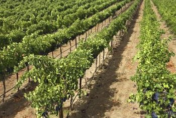 Layering grows new grape vines from live canes of old vines..