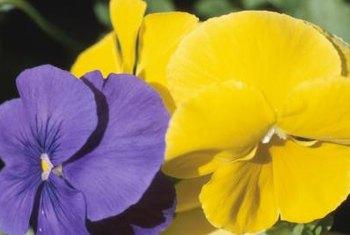 Pansies grow in a variety of colors.
