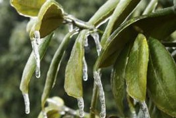 Ice can form on evergreen leaves in winter.
