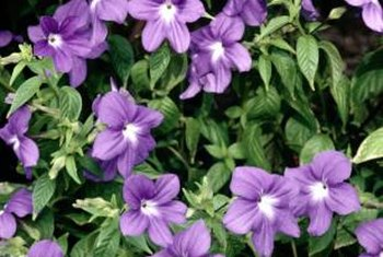 Periwinkle blooms in the spring in blue, purple or white.