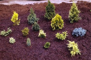 Dwarf conifers grow slowly, making them ideal candidates for limited garden spaces.