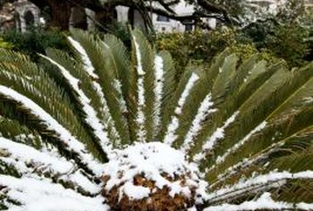The sago palm is a tropical plant that cannot survive cold climates.