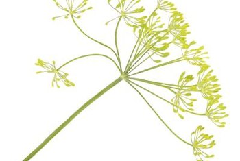 Fennel flowers closely resemble those of the dill plant.