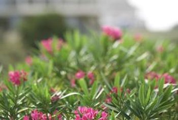 Oleanders, like this one at the beach, can tolerate moisture and salt.
