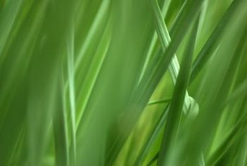 Citronella grass repels mosquitoes while scenting your yard.