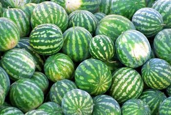 """Crimson Sweet"" watermelons generally grow to between 20 and 25 pounds."