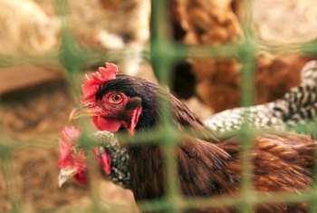 Treat your chickens to freshly grown forage from your garden.