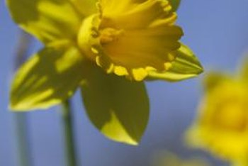 Protect your daffodils from insect pests.