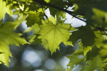 Voracious caterpillars devour maple tree leaves down to their veins.