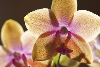 Orchids that lose leaves may not be dead, but they are not healthy.
