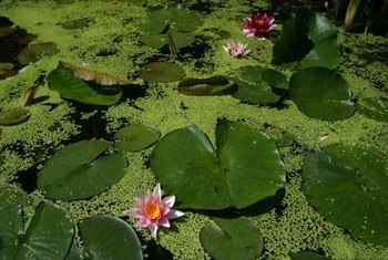 The duckweed plant often grows with water lilies but is tinier.