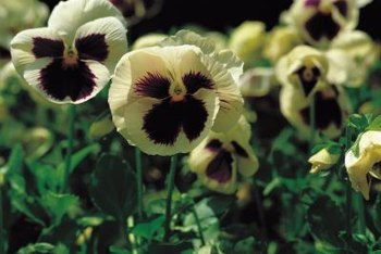 Some pansies have faces.