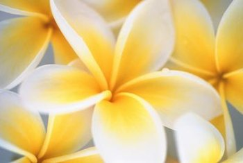 If pollinated, a plumeria flower forms a large seed pod.