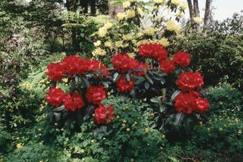 The beauty of a rhododendron is enhanced when set in a mixed border.