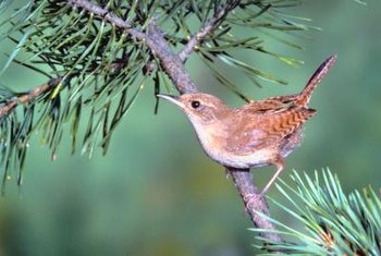 A wren finds shelter in a pine tree.