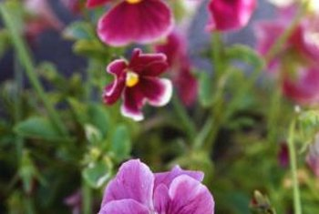 Pansy is a frost-hardy annual.