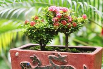 Miniature roses grow well in containers on balconies and decks.
