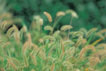 Grass produces seed heads on stalks when left uncut.