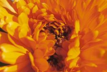 African marigolds are available in both single and double varieties.