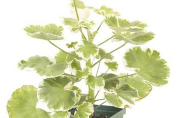 Outside the proper growing zones, overwinter geraniums indoors or grow them as annuals.