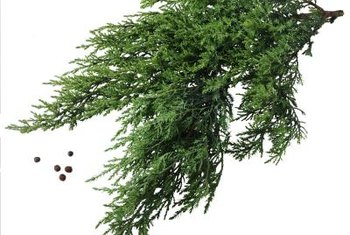 Junipers are covered in fine, needlelike leaves.