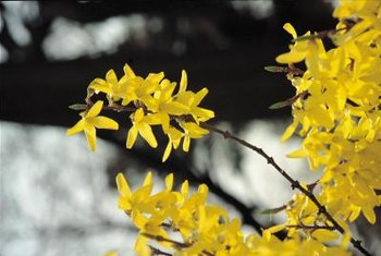 Border forsythia (Forsythia x intermedia) is also known as golden bell for the shape of its flowers.