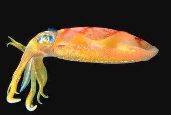 Alien-looking squid have simple, relatively familiar digestive tracts.