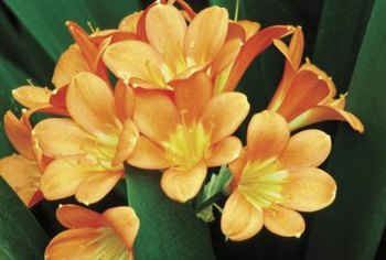 Clivia, also known as kaffir lily, is not a lily but part of the Amaryllis family.