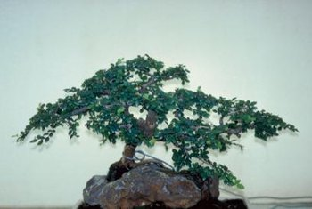 The Chinese elm can be used to make bonsai.