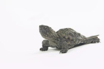 Snapping turtles will display aggressive behaviour if approached out of water.