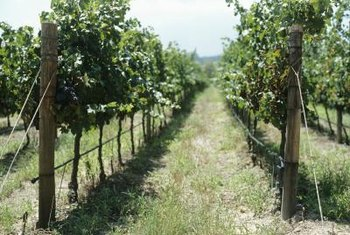 One wire fence will support multiple grapevines planted 8 feet apart.