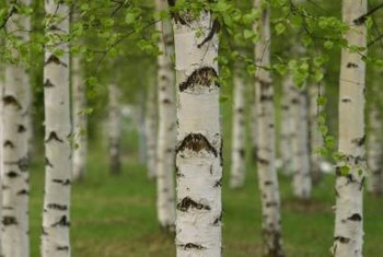 Birch trees often display paper-like silver bark.
