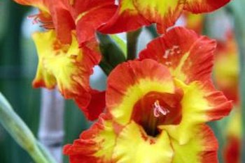 Gladiolus flowers can be very colorful.