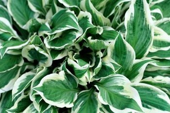 Spires of delicate trumpet blooms adorn hostas in mid- to late summer.