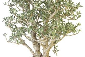 Jade plants are succulents with fleshy leaves and thick stems.