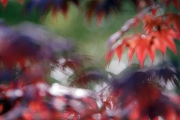 """Inaba-Shidare"" Japanese maple glows with bright red autumn leaves."