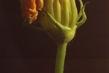 The male squash blossoms you harvest can be fried for a tasty snack.