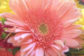 As hyperaccumulators, Gerbera daisies absorb pollutants, including benzene and formaldehyde.
