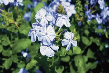 Plumbago flowers are tubular and light blue.