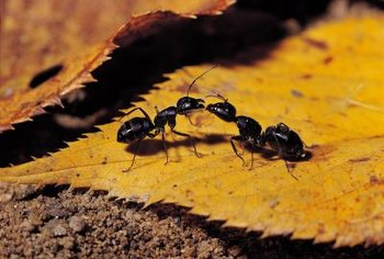 You can kill carpenter ants with bait laced with boric acid.