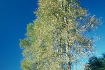 Hybrid poplars grow quickly from cuttings.