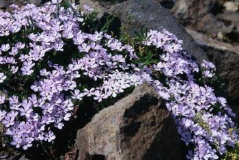 Creeping phlox flowers in late spring.